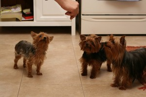 Terriers taking treats