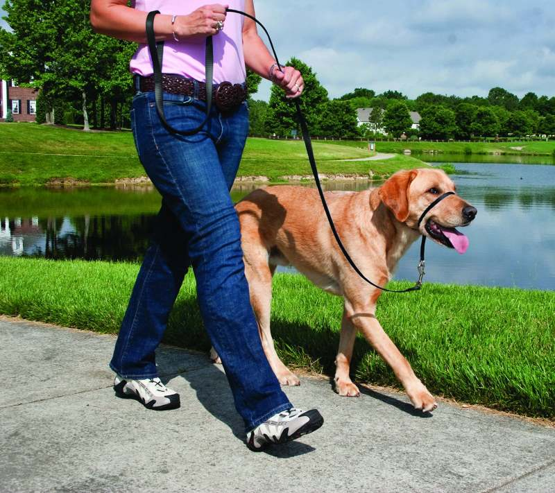 A Golden Lab walking on a Gentle Leader headcollar
