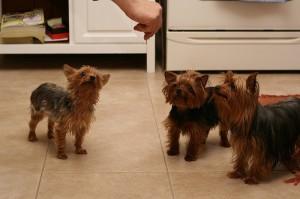 Terriers taking treats