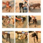 lb_dogs1