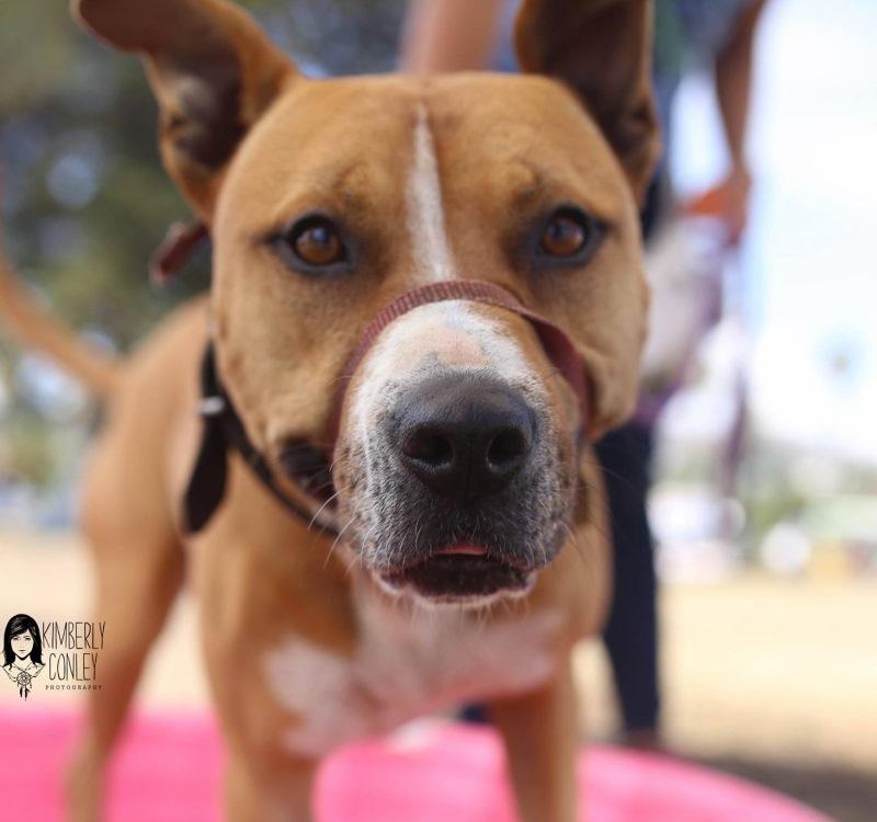 Adoptable CARL dog Elsie wearing a Gentle Leader